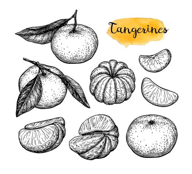 Ink sketch of tangerines. Mandarin orange set. Ink sketch isolated on white background. Hand drawn vector illustration. Retro style. tangerine stock illustrations