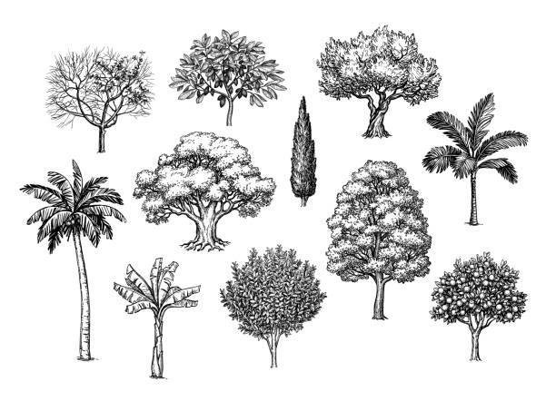ilustraciones, imágenes clip art, dibujos animados e iconos de stock de boceto de tinta de árboles. - árbol