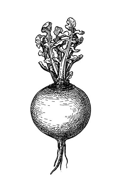 ink sketch of turnip. - root vegetable stock illustrations