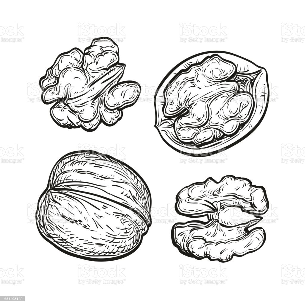 Ink sketch of walnuts royalty-free ink sketch of walnuts stock vector art & more images of botany