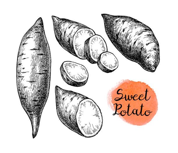 szkic odręcznego yam. - słodki ziemniak stock illustrations