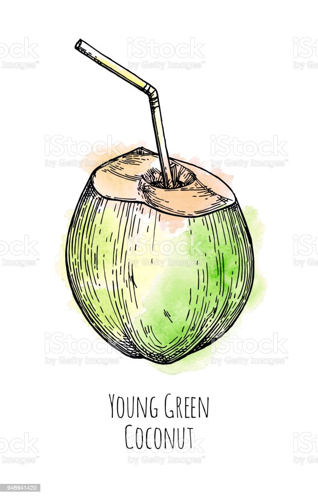 Ink Sketch Of Young Green Coconut Royalty Free