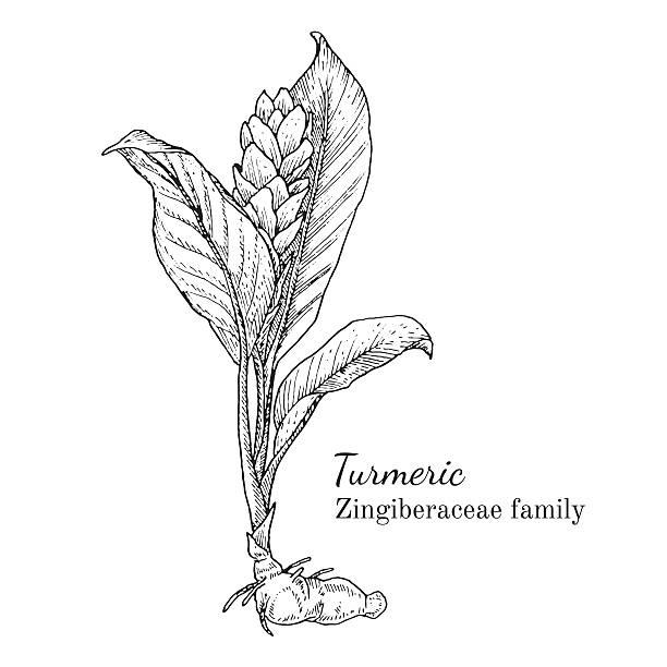 Ink turmeric hand drawn sketch vector art illustration