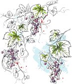 Hand-drawn vector grapevine corner and a single blue grape with leaves in ink & watercolor style.