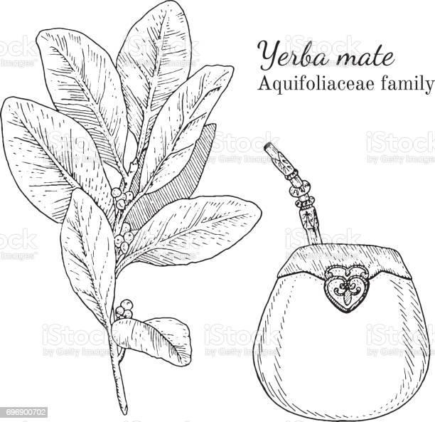 Tinte Yerba Mate Hand Gezeichnete Skizze Stock Vektor Art und mehr Bilder von Alternative Medizin