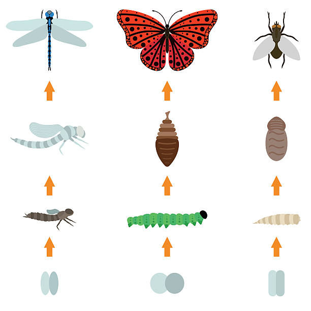 insect birth life Fly, dragonfly, butterfly emerging from chrysalis four stages amazing moment about bugs change insect birth life vector. Insect birth transmogrify life and insect life creature metamorphose spring. butterfly insect stock illustrations