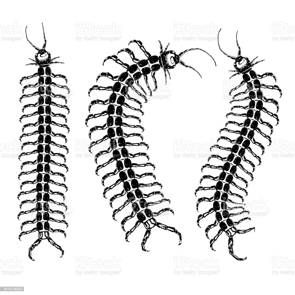 royalty free centipede clip art vector images illustrations istock rh istockphoto com