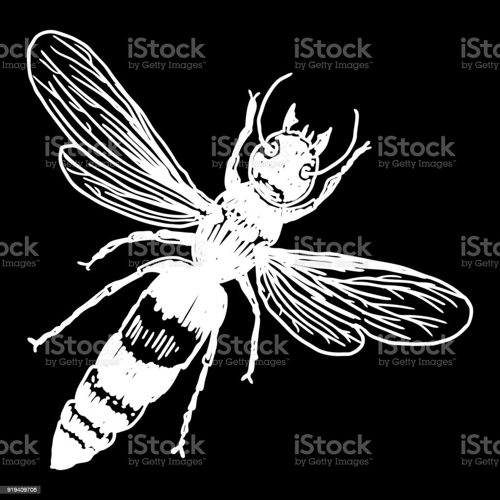 Insect stipple drawing isolated honey Bee. Flying bug in trendy embroidery stippling and hatching, shading style. Vector. vector art illustration