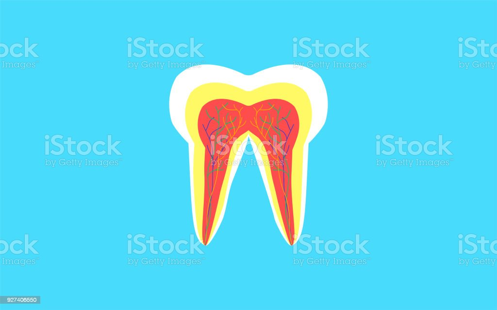 Inside Crosssection Of Tooth Anatomy Structure Dental Concept Stock ...