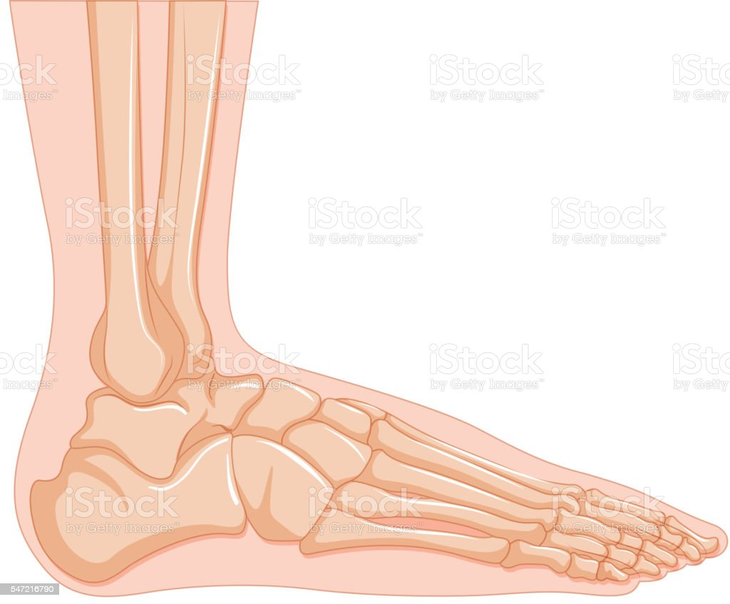 Inside Of Human Foot Bone Stock Vector Art & More Images of Anatomy ...