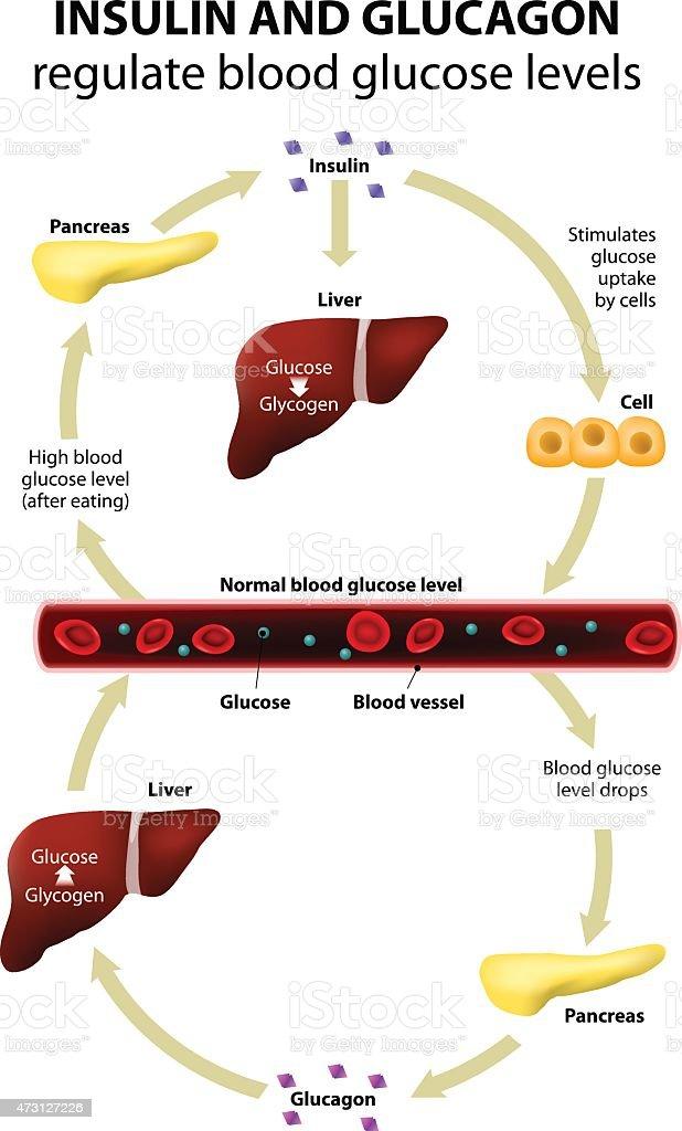 Insulin and glucagon vector art illustration