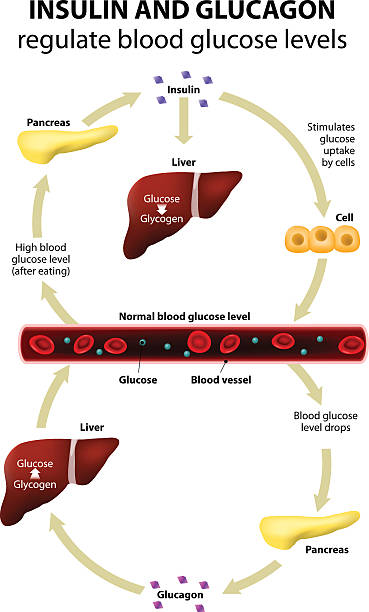 Insulin and glucagon Insulin and glucagon regulate blood glucose levels. Human anatomy. Liver and pancreas islet of langerhans stock illustrations