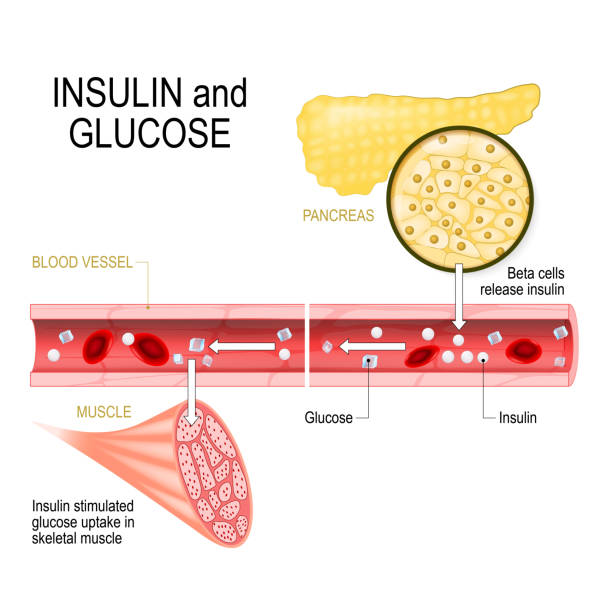 insulin and glucose insulin and glucose. Beta-cells (in the pancreas) release insulin in the blood vessel. Insulin stimulates the absorption of glucose in skeletal muscle. Closeup of pancreas and  islets of Langerhans. Vector illustration for biological, medical, science and educational use islet of langerhans stock illustrations