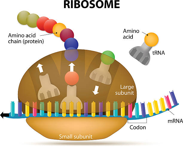 Interaction of a Ribosome with mRNA Ribosome during protein synthesis. The Interaction of a Ribosome with mRNA. Process of initiation of translation amino acid stock illustrations