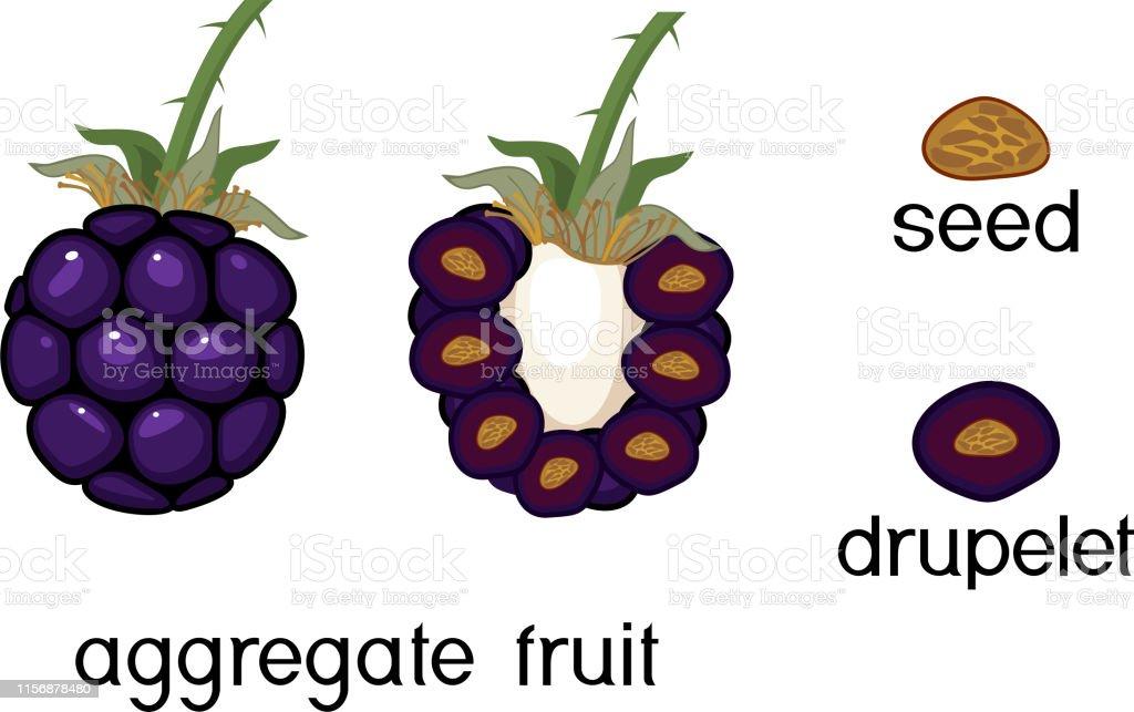 Ilustración De Estructura Interna Y Externa De Fruta De