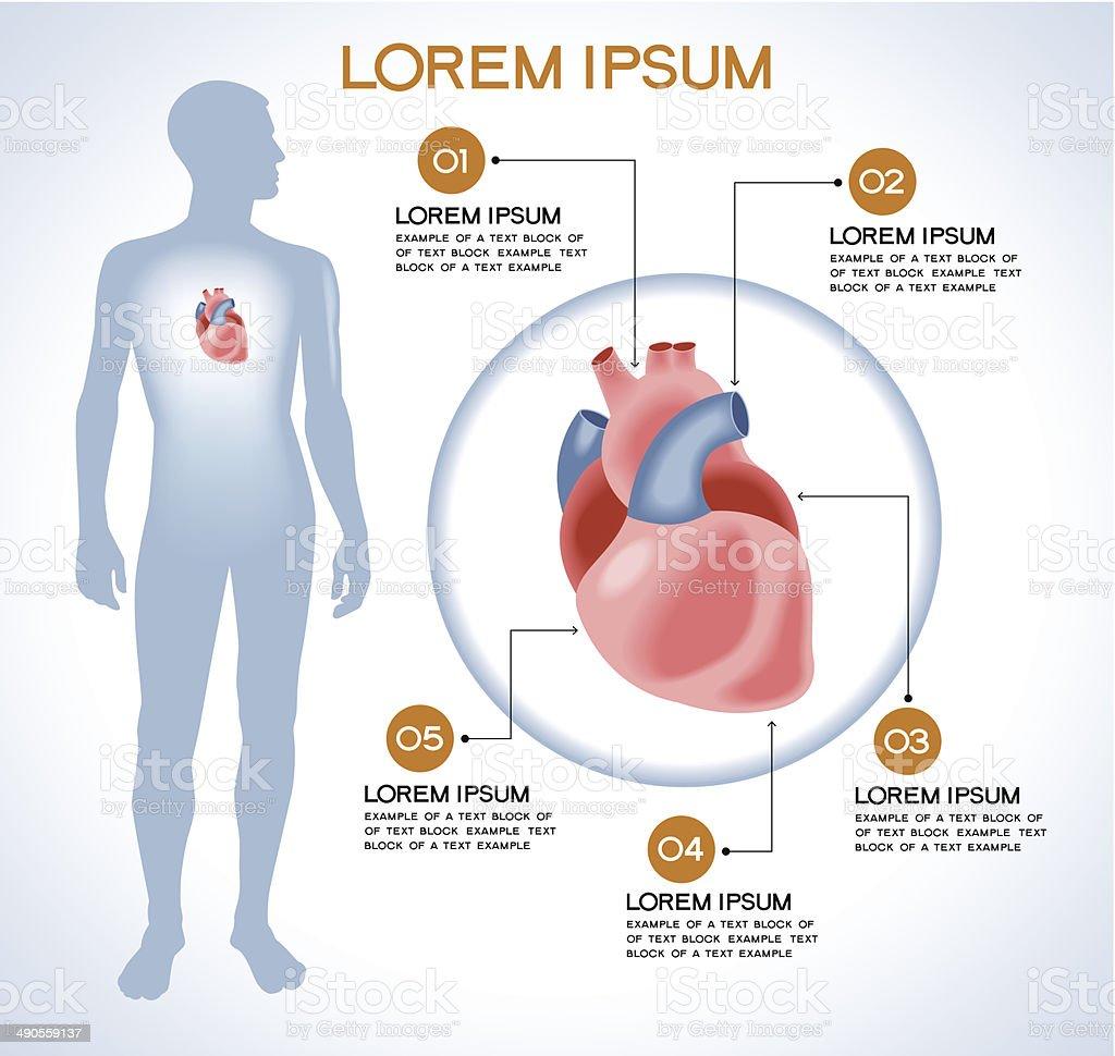 Ilustración de Órgano Interno Humano Corazón y más banco de imágenes ...