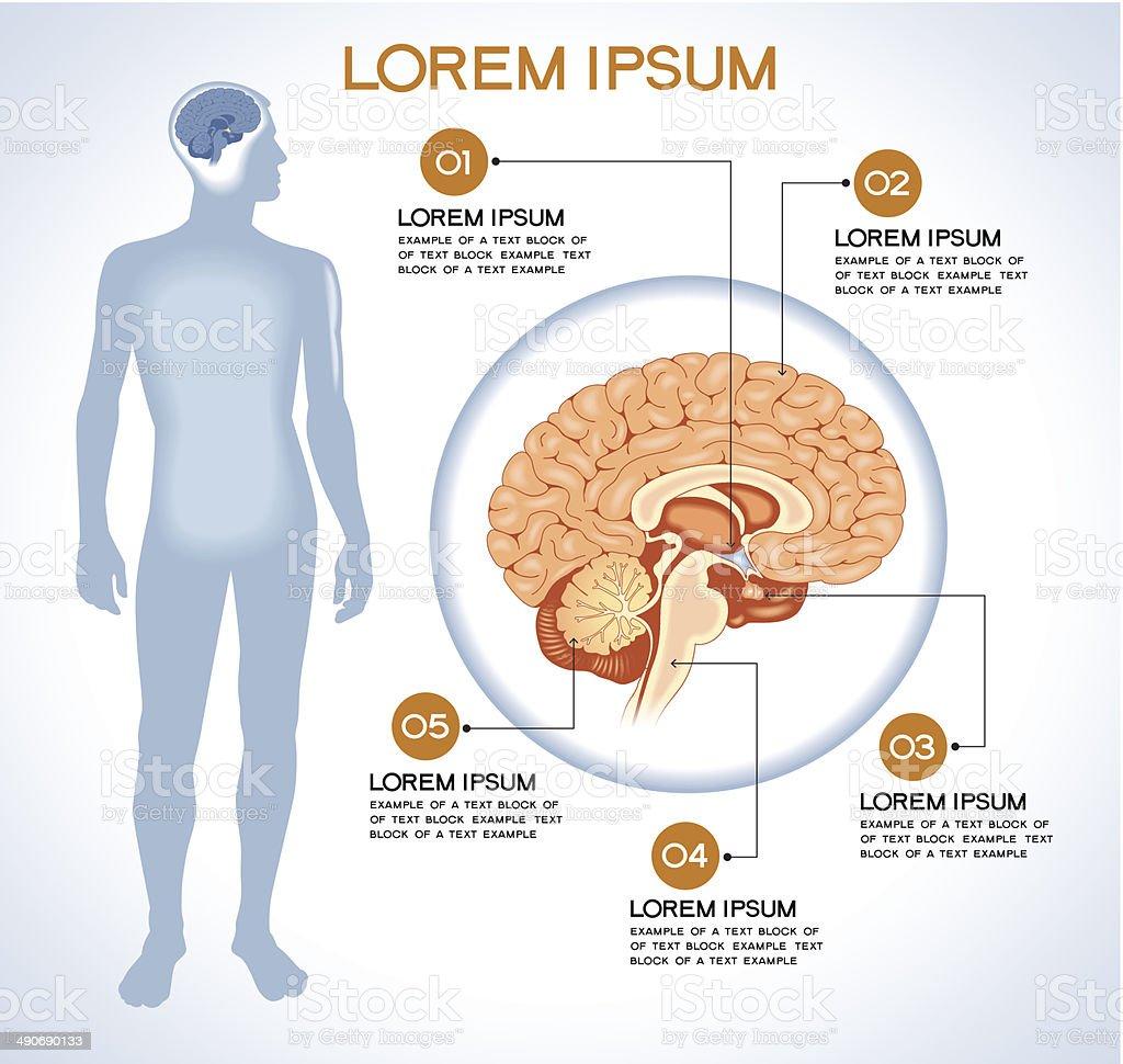 Internal human organ hypothalamus. vector art illustration