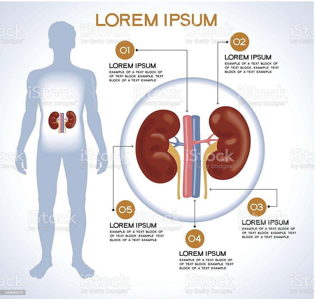 Interne Menschliche Organ Nieren Stock Vektor Art und mehr Bilder ...