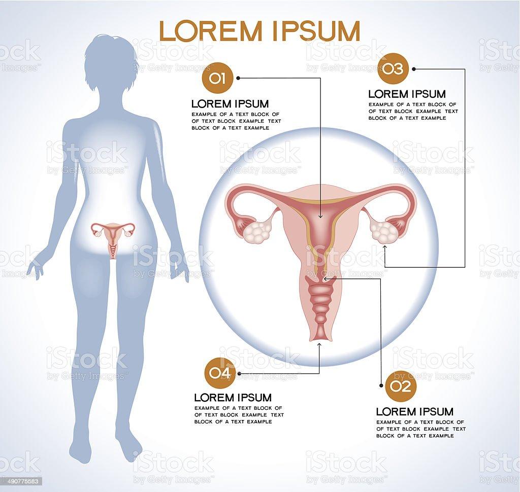 Internal Human Organ Ovaries Stock Vector Art More Images Of