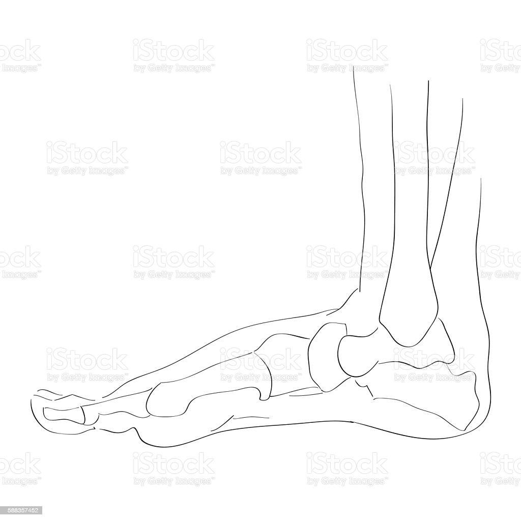Internal Lateral View Of The Foot Bones Stock Vektor Art Und Mehr