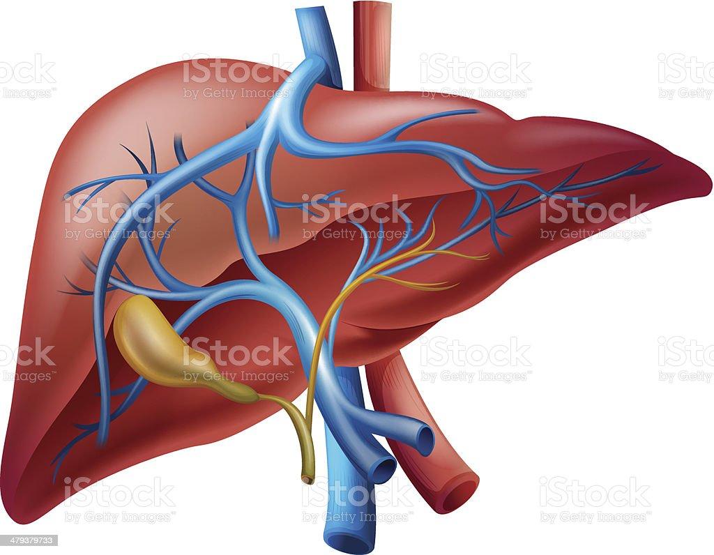 Hígado Interno - Arte vectorial de stock y más imágenes de Anatomía ...