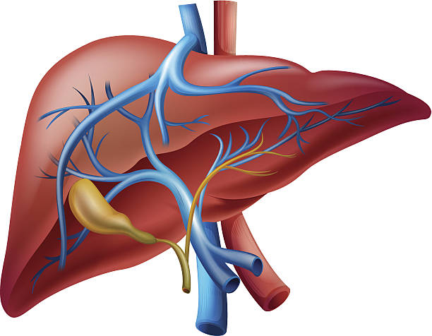 Internal liver vector art illustration