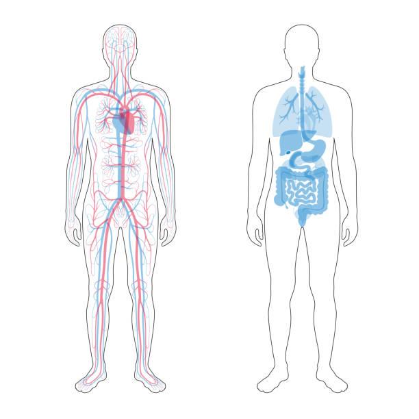 ilustraciones, imágenes clip art, dibujos animados e iconos de stock de órganos internos y sistema circulatorio - cuerpo humano