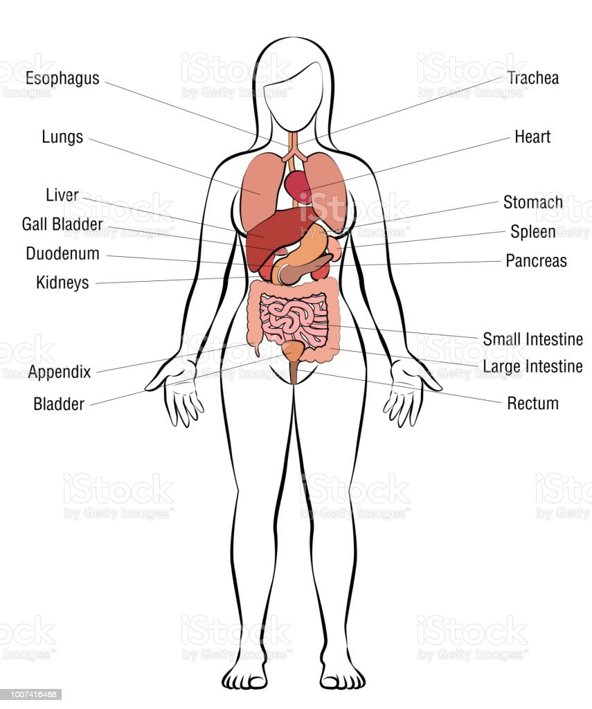 internal organs female body schematic human anatomy illustrationinternal organs, female body schematic human anatomy illustration isolated vector on white background