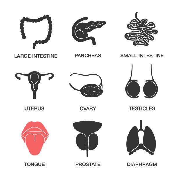ilustraciones, imágenes clip art, dibujos animados e iconos de stock de iconos de órganos internos - ovario