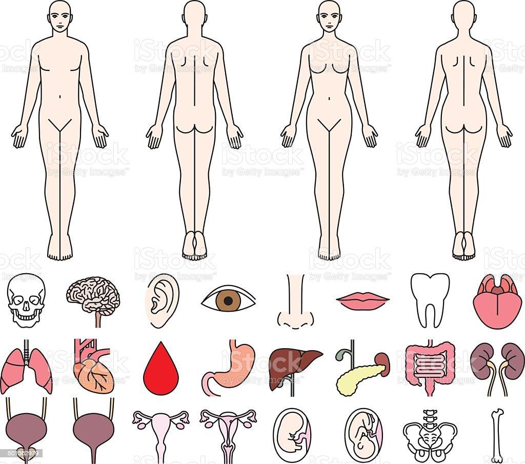 Ilustración de Órganos Internos Del Cuerpo Humano Y De Los Hombres Y ...