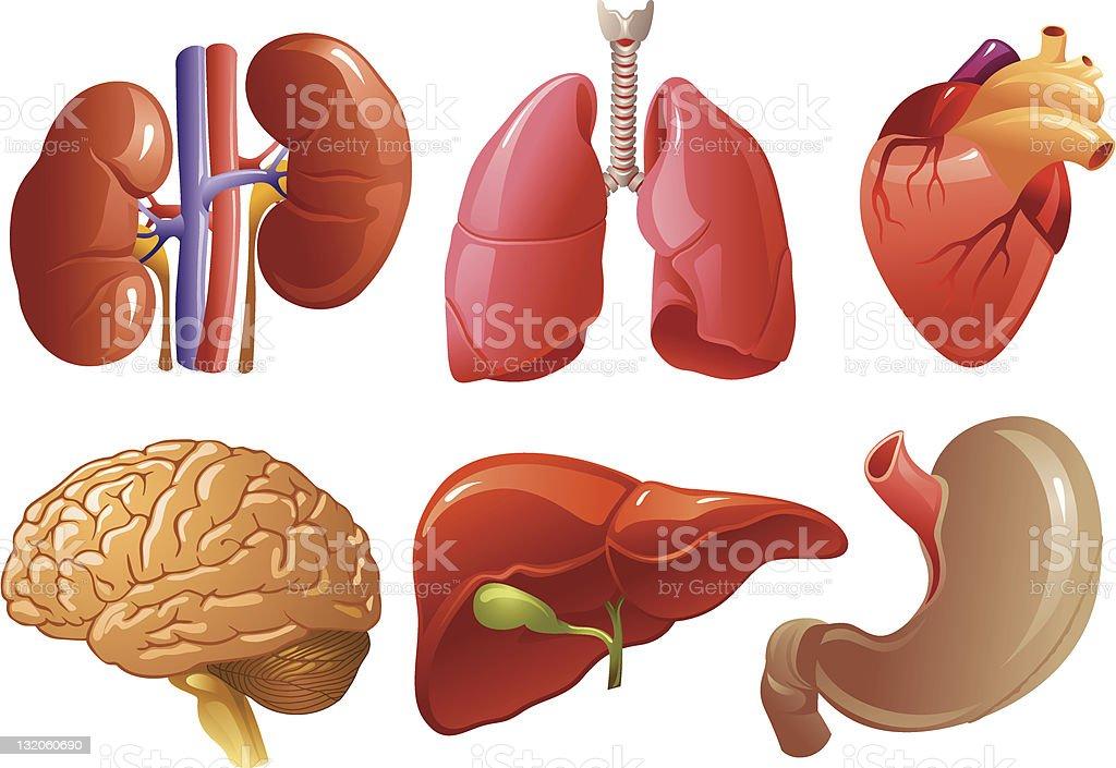 Internal organs vector art illustration