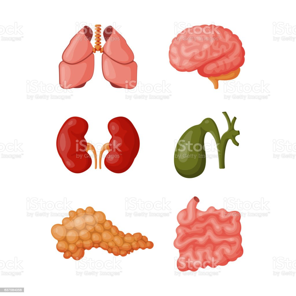 Internal organs vector illustration. vector art illustration