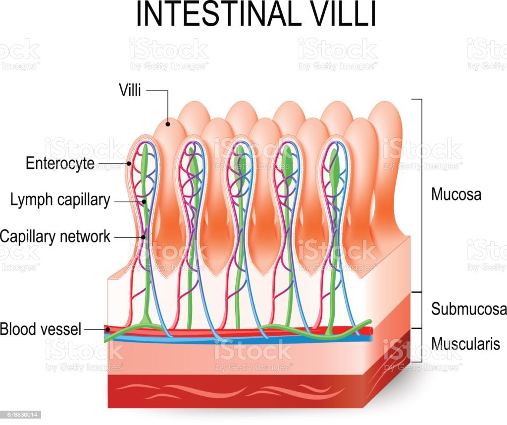 Intestinal Villi In The Small Intestine Stock Vektor Art Und Mehr