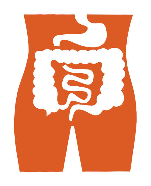 Intestines Intestines digestive system stock illustrations