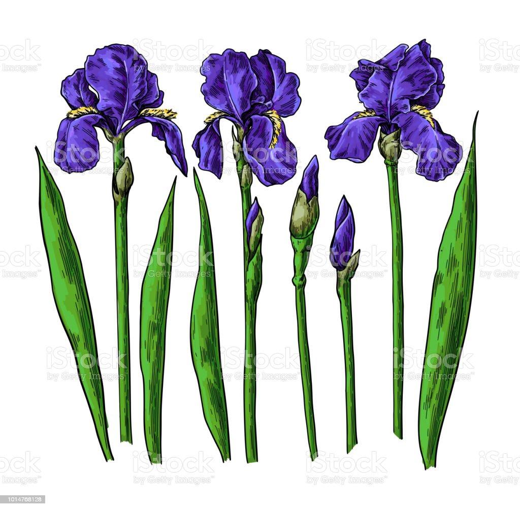 Ilustracion De Iris Flores Y Hojas De Dibujo Objeto De Flores