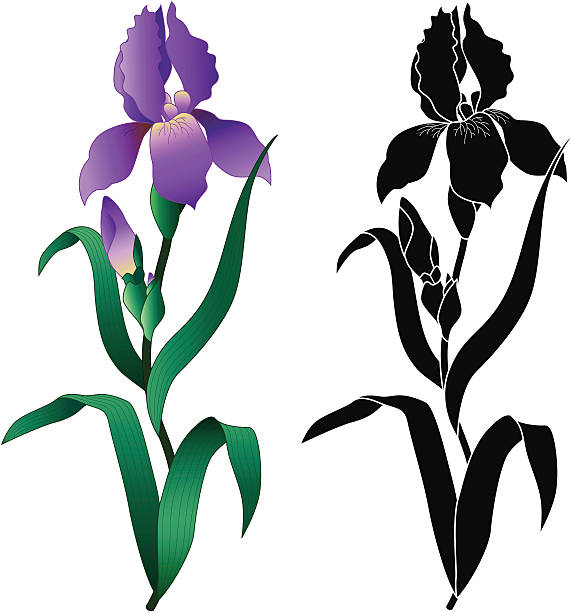 Iris flower A vector illustration of an iris in color and black and white. iris plant stock illustrations