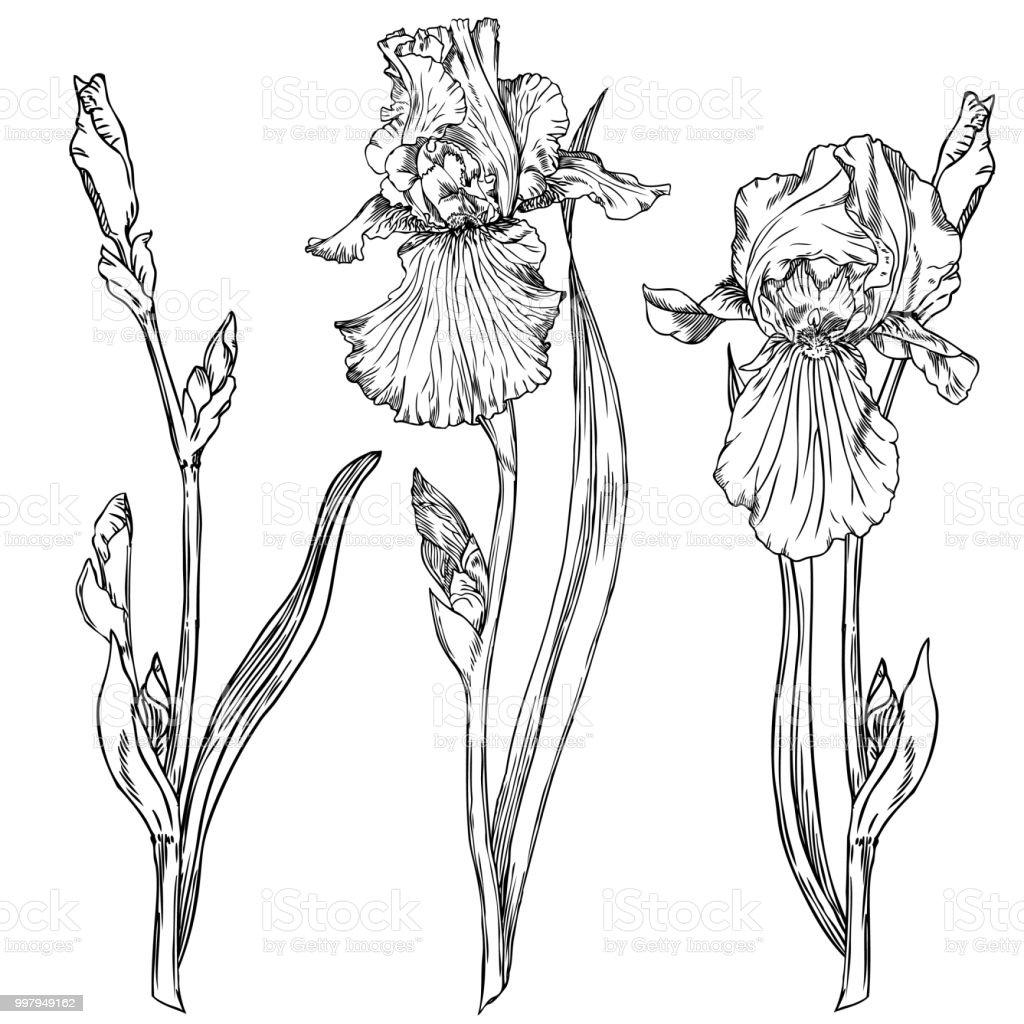 Iris flowers stock vector art more images of black and white iris flowers royalty free iris flowers stock vector art amp more images of black izmirmasajfo