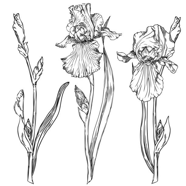 stockillustraties, clipart, cartoons en iconen met iris bloemen - iris plant