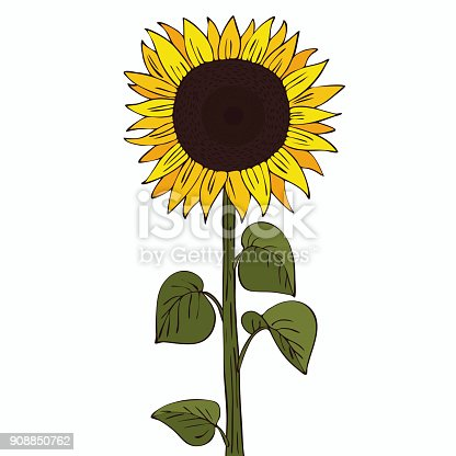 Isolate helianthus or sunflower on white background. Close up clipart with shadow in flat realistic cartoon style. Hand drawn icon
