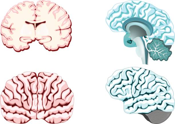 Isolated brain cross section. Isolated brain cross section. Illustration of human brain for medical design or study.  Set illustration of parts cerebellum: thalamus, hypothalamus, pineal gland and other. Easy recolor. lateral ventricle stock illustrations
