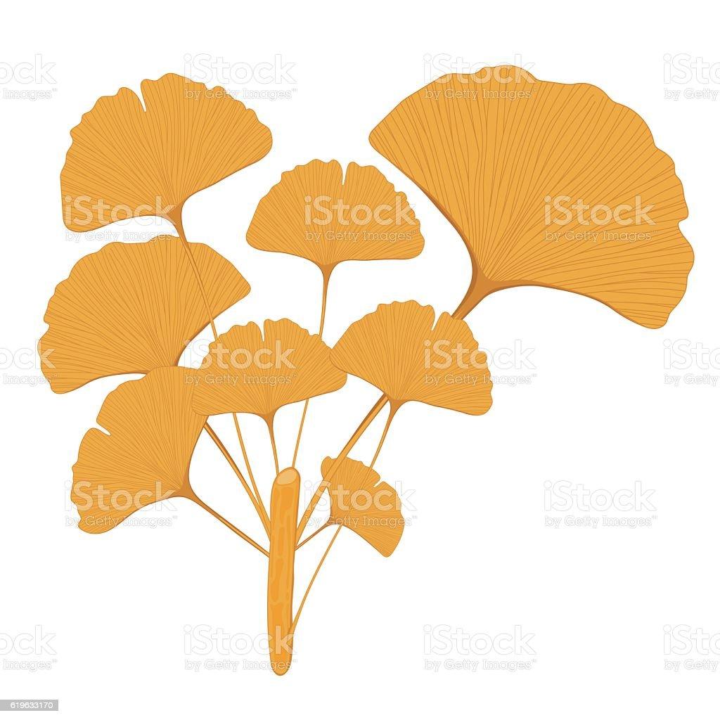 Isolated branch of  ginkgo biloba vector art illustration