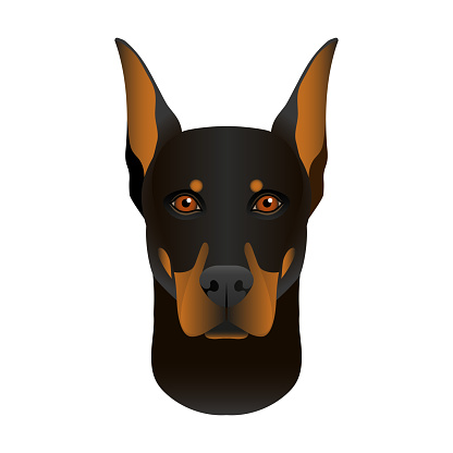 Isolated colorful head and face of doberman pinscher on white background. Line color flat cartoon breed dog portrait