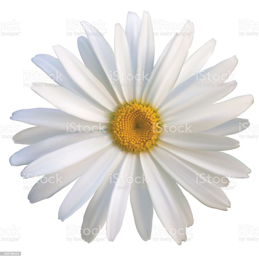 isolated daisy flower close-up on a white background vector art illustration