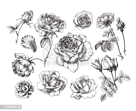 Isolated drawings of rose flower