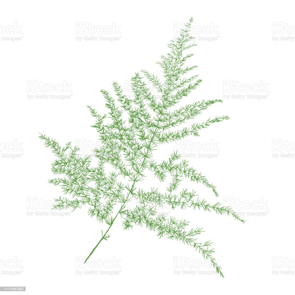 Isolated Green Asparagus Fern Or Plumosa Fern Plant Vector Illustration On White Background Stock Illustration Download Image Now Istock
