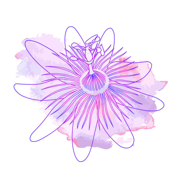 illustrazioni stock, clip art, cartoni animati e icone di tendenza di isolated hand drawn purple outline flower of passionflower, passiflora on pink violet watercolor spot. print of curve lines. - passiflora