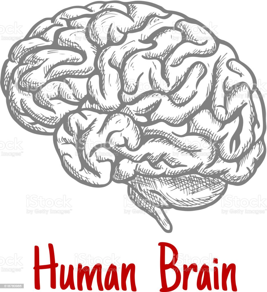 Isolated Human Brain Engraving Sketch Stock Vector Art & More Images ...