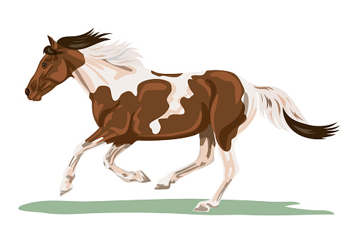 Isolated Pinto Horse Galloping