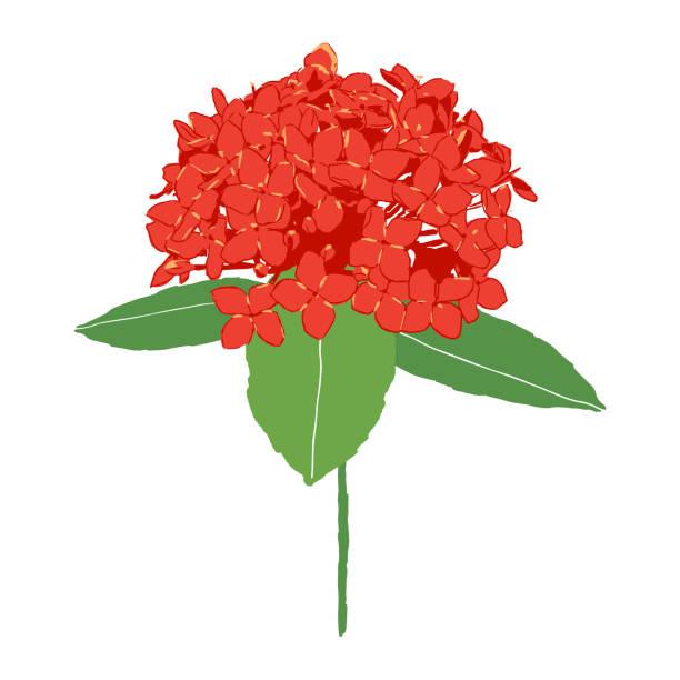 stockillustraties, clipart, cartoons en iconen met geïsoleerde rode ixora bloem vectorillustratie op witte achtergrond - pauwenkers