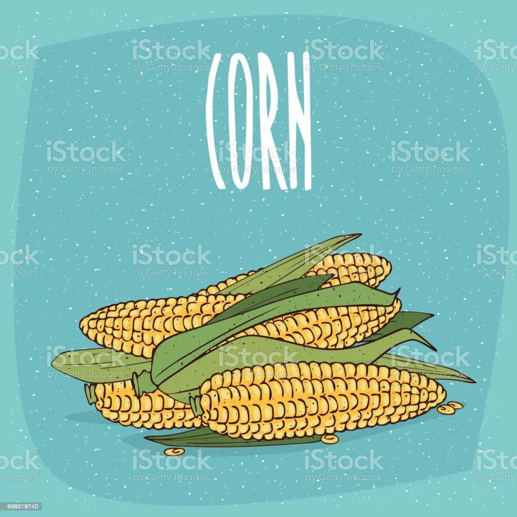 Isolated ripe whole corn ears or cobs with leaves vector art illustration